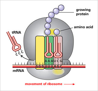 Ribosome protein synthesis