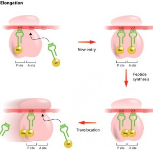 protein synthesis steps - elongation