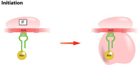 first step of protein synthesis What is the first step of protein synthesis - it is called transcription the information encoded in dna of the genes is transferred to a messenger rna.