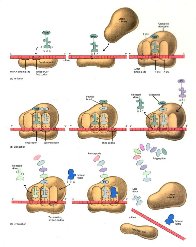 three steps of protein synthesis