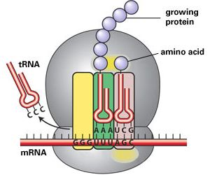protein synthesis in ribosome