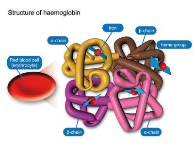 haemoglobin structure