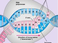 What Is The First Step Of Protein Synthesis