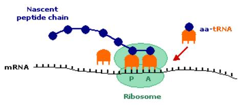 What Is The Second Step Of Protein Synthesis - Protein Synthesis