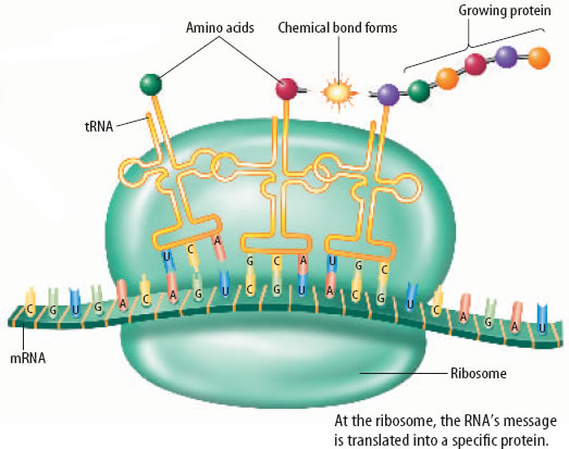 The Central Dogma Dna Encodes Rna Protein