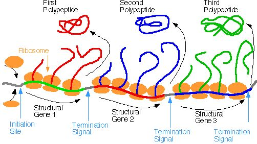 polycistronic